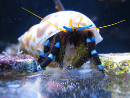 Do Hermit Crabs Shed Their Legs by If A Hermit Crab Had A Mustache This One Would Certainly Prefer
