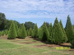 Leyland Cypress Christmas Tree Growers by Cut Your Own Tree At Local Christmas Tree Farms U2013 2014