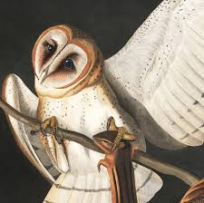 Audubon Barn Owl Art Print - Vintage Art Print - Nature Art - Bird ... Amazing Barn Owl Nocturnal Facts About Wild Animals Barn Owl By David Cooke For Sale The Sculpture Parkcom Rhodium Comes To Canada With Its Striking New Nocturnal Nature Flying Wallpapersbirds Unique Hd Wallpapers Owls In Kuala Lumpur Bird Park Stock Photo Image 87325150 Biocontrol View Common In Malaysia Sekinchan Paddy Field Youtube Another Blog Farmers Friend Bear With Him Girl Mom Birds Of World Owls