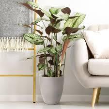 calathéa white xl zimmerpflanzen pflanzen