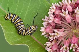 Attracting Insects To Your Garden by Attracting Butterflies 11 Must Have Host Plants Birds And Blooms