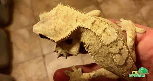 Extreme Halloween Crested Gecko creamsicle crested gecko for sale online baby creamsicle crested