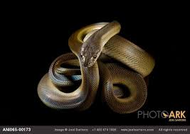 140 schlangen snakes ideen schlangen reptilien hibien