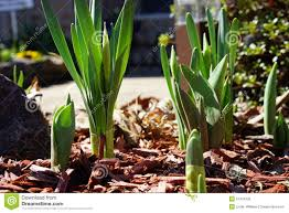 emerging daffodils and tulips in early stock photo image