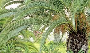 palmier variétés plantation entretien conseils plantes