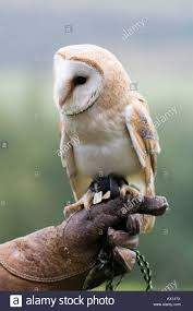 Common Barn Owl (Tyto Alba) Perched On A Falconer's Arm At Daun ... Common Barn Owl 4 Mounths In Front Of A White Background Stock Royalty Free Images Image 23603549 Known Photo 552016159 Shutterstock Owl Wikipedia 644550523 Mdc Discover Nature Tyto Alba Perched On A Falconers Arm At Daun Audubon Field Guide Mounths Lifeonwhite 10867839 Barnowl 1861 Best Owls Snowy Saw Whets Images Pinterest Photos Dreamstime
