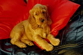 Do Brittany Spaniels Shed Hair by Cocker Spaniel Dog Breed Information Pictures Characteristics