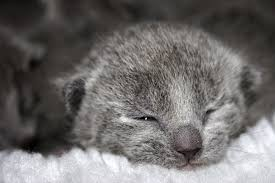 shorthair cat price russian blue cat price how much do russian blue kittens cost