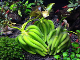 Nymphodies Aquatica - Banana Plant | Aquascape & Aquatic Plants ... Aquatic Patio Pond Kit Aquascapes Aquascapepro Waterfall Rock Cleaner Aquablox Modular Water Storage System 23 Best Gardens Ponds Images On Pinterest Gardens Ohio Installationmaintenance Contractobuildinstallers The Best 28 Of Meyer Aquascapes Pond Water Urchill Chair Living Spaces Recent Projects Aquascape Aquabasin Medium Creations Deco Planter Project Image Gallery 60 Before And After