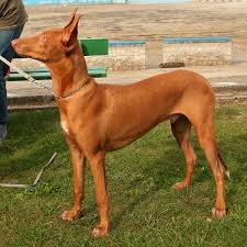 Do Treeing Walker Coonhounds Shed by Pharaoh Hound Wikipedia