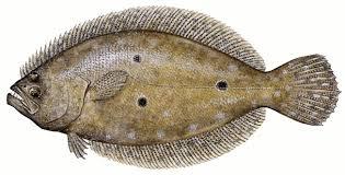 Summer Flounder Paralichthys Dentatus 2