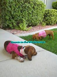 dachshund harness custom small dog harnesses for your wiener dog