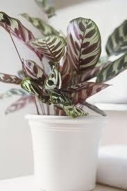 calathea calathea spp calathea plant houseplants low