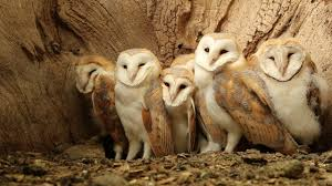 Seven Barn Owl Chicks In The Nest - YouTube Barn Owl Focus On Cservation Best 25 Baby Ideas On Pinterest Beautiful Owls Barn Steal The Show As Day Turns To Night At Heartwood Family Ties Owl Chicks Let Their Hungry Siblings Eat First The Perch Uncommon Banchi Baby Coastal Home Giftware From Horizon Stock Image Image Of Small Young Looking 3249391 You Know Birdnote Banding By Alex Lamoreaux Nemesis Bird