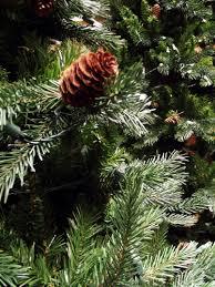 Silvertip Fir Christmas Tree by Christmas Tree Legrue U0027s Christmas Gallery Denver Co 80209