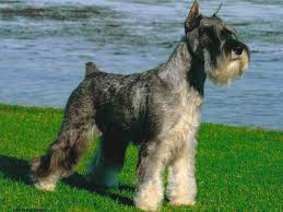 Do Giant Schnauzer Dogs Shed Hair by Schnauzer Pictures Standard Schnauzer History The Standard