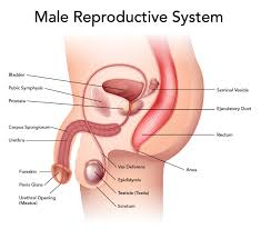 Uterus Lining Shedding Without Blood by Reproductive System Essential Oils For Guide
