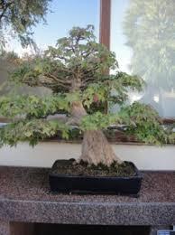 pot bonsai grande taille l du bonsaï voyage à travers le québec