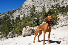 Vizsla Dog Breed Shedding by Best Hiking Dogs The Best Breeds For Hikers And Active People