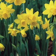 taylors bulbs bulk value pillow net narcissi tete a tete