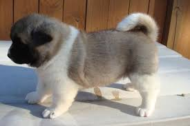 do haired akitas shed akita temperament names rescue adoption