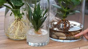 diy neuer trend hydroponie pflanzen ohne erde im glas