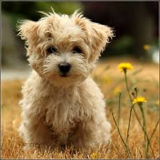 Low Shedding Small Dogs by Cute Small Dogs That Stay Small Dog Pet Photos Gallery G5nbq1ebvx