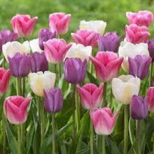 tulip 18 flower bulbs garden plants flowers the home depot