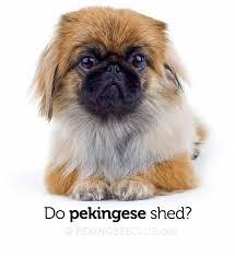 Do All Dogs Shed Fur by Do Pekingese Shed Pekingese Club
