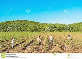 Download Cuban Field Farmer On The Sugarcane During Harvest In Cienfuegos Cuba