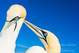 South African Seabirds CPeterChadwick AfricanConservationPhotographer