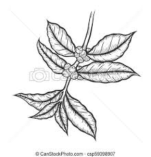 Coffee Tree Illustration Branch Engraved