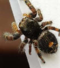 Jumping Spiders At Spiderzrule - The Best Site In The World About ... Spiders At Spiderzrule The Best Site In World About Spiders Barn Funnel Weaver Spider North American Insects Bug Eric Thinlegged Wolf Genus Pardosa Grass How To Tell If A Spider Is Not Brown Recluse Spiderbytes
