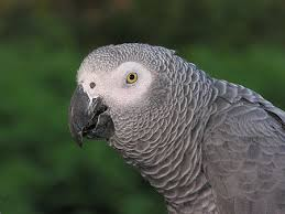 Birds African Grey Parrot Is Native To West Rainforests