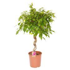 zimmerpflanze botanicly birkenfeige höhe 130 cm ficus benjamina exotica