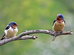 Barn Swallows, Aerial Darters In Cobalt Blue — Susan Kirby European Barn Swallow Hirundo Rustica Stock Photo Royalty Free Swallow Idaho Birds Audubon Guide To North American Posing On A Fence Of Ukraine Birdwatching Alentejo Portugal Boerenzwaluw Barn Stock Image Image Young 67199779 Detailed Close Up Hinterland Whos Who Or The Uk And Ireland Male Swallows