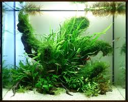 Daize's 120L Island Aquascape | UK Aquatic Plant Society 329 Best Aquascape Images On Pinterest Aquarium Ideas Floratic Visiting Paradise At Shah Alam Planted Aquarium Aquascape Things Aquariums Aquascaping Malaysia Diy Pertama Kali Aquascaping October 2010 Of The Month Ikebana Aquascaping World Sumida Aquarium Reloaded Fish Tanks And Designs Awesome A Moss Experiment Its All About Current Low Tech Tank Cuisine Wonderful Small Cubical Styles Planted The Surreal Submarine Amuse