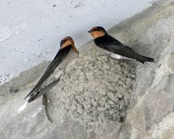 Pacific Swallow (Hirundo Tahitica) | Swallows And Bird Union Bay Watch Surround Sound The Color Is So Beautiful Birds Pinterest Tree Swallow Easy Tips To Attract Swallows Swifts And Martins Feather Tailed Stories 2017 Barn Swallow Migration Annual Cycle Audubon Guide North American Fledgling Feeding Time Youtube Petting A Baby Hinterland Whos Who Eating Insects Barn Nextdoor Nature