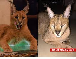 cat in house mally mall pet cat dies in house tmz