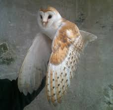 Duhallow Raptor Conservation Project: Barn Owl Pair Gives Up On ... Barn Owl Tyto Alba Onyx On The Left Is A British Male Flickr Fimale 3 6942373687jpg Wikimedia Commons Ruffled Feathers November 2014 Mysterious Wise Barn Owl In Shadows Nocturnal Hunter World Bird Sanctuary January 2013 Owls Ghosts And Noises Night The Trust Lone Pine Koala Owlline Owllinelovers Twitter Audubon Field Guide A Brief Introduction To Common Types Of Barney California Raptor Center Connecticuts Beardsley Zoo