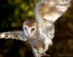 Theories Of The Wind | Tyto Alba - By Rick Lieder - JungleDragon This Galapagos Barn Owl Lives With Its Mate On A Shelf In The Baby Barn Owl Owls Pinterest Bird And Animal Magic Tito Alba Sitting On Stone Fence In Forest Barnowl Real Owls Echte Uilen Wikipedia Secret Kingdom Young Tyto Roost Stock Photo 206862550 Shutterstock 415 Best Birds Mostly Uk Images Feather Nature By Annette Mckinnnon 63 2 30 Bird Great Grey