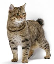 bobtail cat cat breeds american bobtail cat origin and personality dogalize