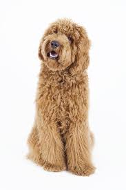 No Shed Dogs Medium by Labradoodle
