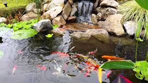 Koi Pond With Goldfish And Catfish Nice Waterfall - YouTube Backyard Aquaculture Raise Fish For Profit Worldwide 40 Amazing Pond Design Ideas Koi And Turtle Water Garden Wikipedia Small Backyard Pond Care Small Ponds To Freshen Your Goldfish Catfish Waterfall Youtube Stephens Aquatic Services Inc Starting A Catfish Farm With Adequate Land Agric Farming How To Start From Tractor Or Car Tires 9 Steps Pictures In July Every Year We Have An Event Called Secret Gardens Last The Latest Home