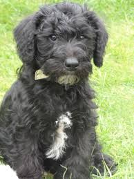 Do Giant Schnauzer Dogs Shed Hair by Schnoodle Schnauzer Poodle Mix Info Puppies Temperament