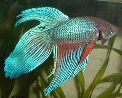 aquarium poisson prix combattant l betta splendens poissons exotiques vente