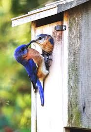 Charleston Bird-watchers: The Great Backyard Bird Count Is Coming ... Marketplace Audubon Mason Bees Backyard Bird Shop Sibleys Birds Of The Midatlantic Southcentral States Amazoncom In Garden Wall Calendar 2018 Home Page The House Ny 97 Best Michaels Craft Store Coupons Discounts Images On Wild Fersbirdseed Blendsnature 25 Unique Birds Unlimited Ideas Pinterest Stained Glass Patterns 01557013429 Predator Guide Protect Your Yard Little Book Songs Andrea Pnington Caz