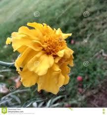 100 Farm House Tack Galgota Flower Stock Photo Image Of Love Galgota Garden