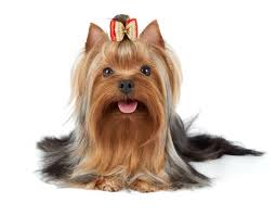 Do Hypoallergenic Dogs Shed As Puppies by What You Need To Know About Yorkies And Their Fur Mysweetpuppy Net