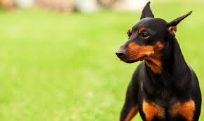 Which Dogs Do Not Shed Or Smell by 10 Least Smelly Dog Breeds U2013 Iheartdogs Com